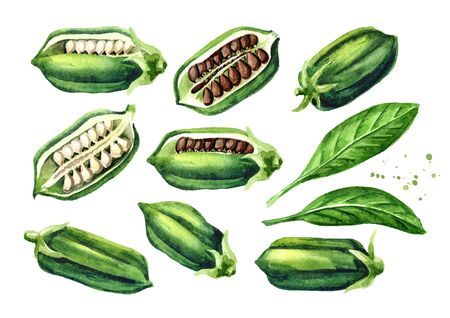 Sesame green pods with seeds set.