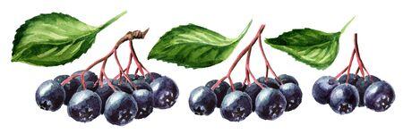 Gałąź aronii lub aronii czarnej z zestawem zielonych liści.