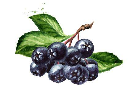 Gałąź aronii lub aronii czarnej o zielonych liściach. Zdjęcie Seryjne