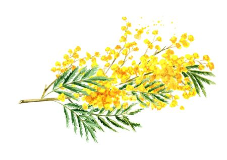 Bouquet of Mimosa yellow spring flowers, Watercolor hand drawn illustration isolated on white background Stock Photo