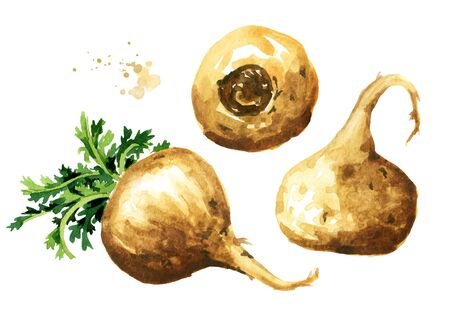 Maca root or Peruvian ginseng set. Organic vegetable, superfood. Watercolor hand drawn illustration isolated on white background