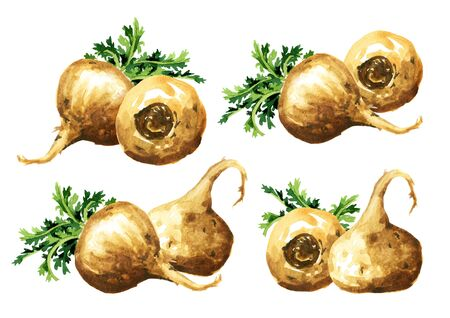 Maca root or Peruvian ginseng set. Organic vegetable, superfood. Watercolor hand drawn illustration, isolated on white background
