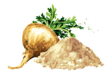 Maca root or Peruvian ginseng with powder, Organic vegetable, superfood. Watercolor hand drawn illustration isolated on white background Stock fotó