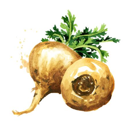 Maca root or Peruvian ginseng, Organic vegetable, superfood. Watercolor hand drawn illustration, isolated on white background