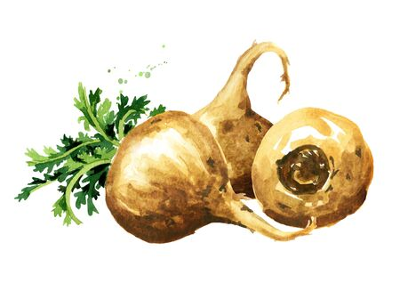 Maca root or Peruvian ginseng. Organic vegetable, superfood. Watercolor hand drawn illustration, isolated on white background