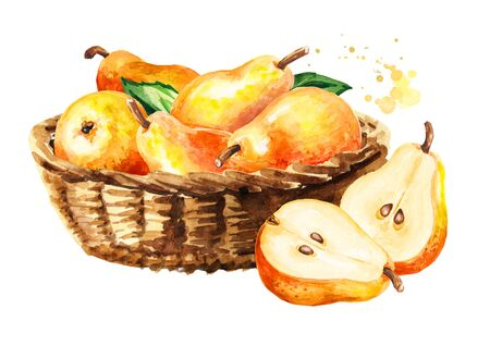 Basket with fresh ripe red yellow honey pear fruits. Hand drawn watercolor illustration, isolated on white background