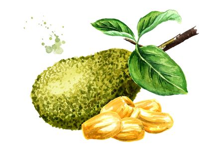 Jackfruit with green leaves. Hand drawn watercolor illustration, isolated on white background