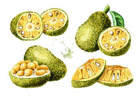 Ripe Jack fruit set. Hand drawn watercolor illustration, isolated on white background