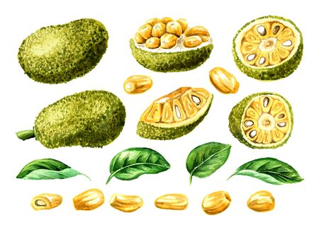 Ripe Jackfruit with leaf set. Hand drawn watercolor illustration, isolated on white background