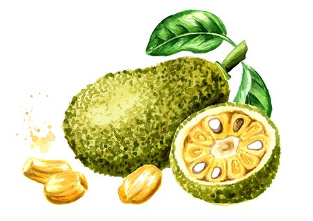Whole and cut Jack fruit with green leaves. Hand drawn watercolor illustration, isolated on white background