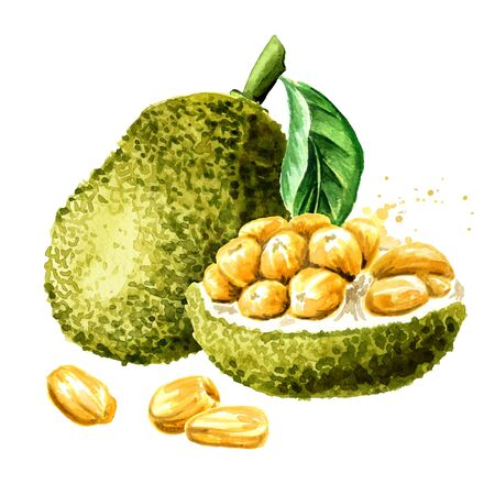 Whole and half Jackfruit with leaf. Hand drawn watercolor illustration, isolated on white background