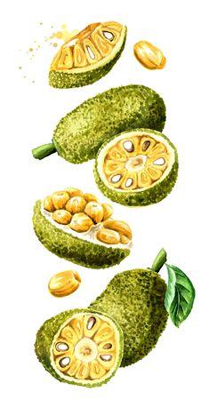 Falling Jack fruit. Hand drawn watercolor illustration, isolated on white background