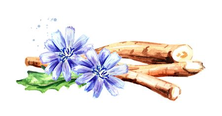 Dry roots of chicory and cichorium flowers. Watercolor hand drawn illustration isolated on white background Stock fotó
