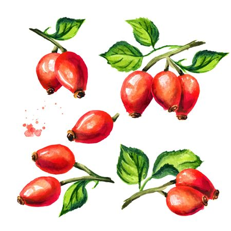 Branch of wild rose or Rosehips with green leaf set.