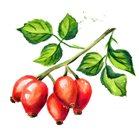 Branch of wild rose with ripe red briar fruits. Rosehips with green leaves. Hand drawn watercolor illustration, isolated on white background