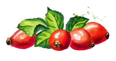 Wild rose or Rosehips with green leaf. Hand drawn watercolor illustration, isolated on white background