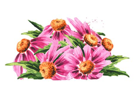 Echinacea purpurea flowers and leaves, medical plant or herb. Hand drawn watercolor illustration, isolated on white background