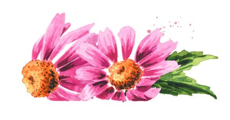 Echinacea purpurea flowers, medical plant or herb. Hand drawn watercolor illustration, isolated on white background Zdjęcie Seryjne