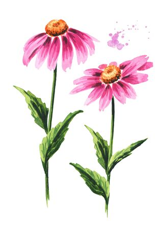 Echinacea purpurea stems with leaves and flowers, medical plant or herb.. Hand drawn watercolor illustration, isolated on white background