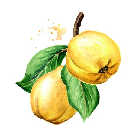 Branch with fresh ripe yellow quince fruits. Hand drawn watercolor illustration, isolated on white background