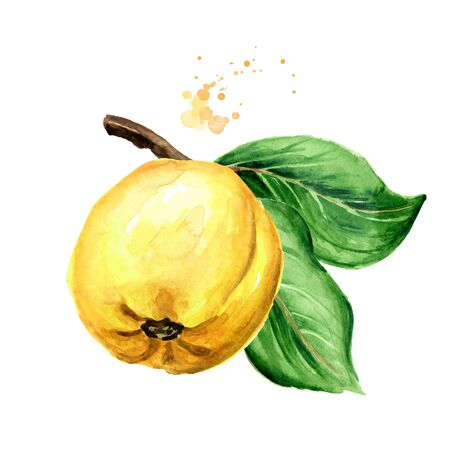 Fresh ripe yellow quince fruit on the branch. Hand drawn watercolor illustration, isolated on white background
