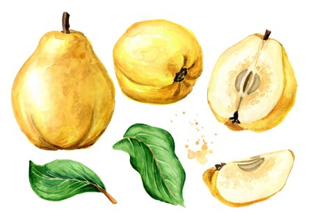 Fresh ripe yellow quince fruits with green leaves set. Hand drawn watercolor illustration, isolated on white background 版權商用圖片