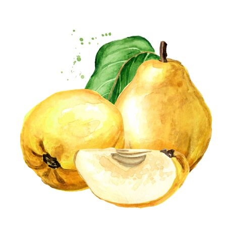 Fresh ripe yellow quince fruits with green leaves, Hand drawn watercolor illustration isolated on white background