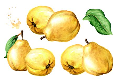 Fresh ripe yellow quince fruits with green leaves. Hand drawn watercolor illustration, isolated on white background