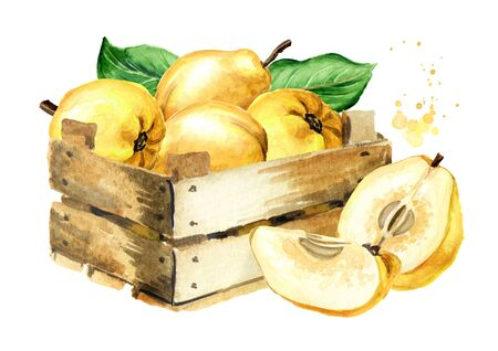 Wooden box with fresh ripe yellow quince fruits. Hand drawn watercolor illustration, isolated on white background