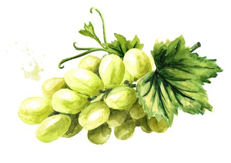 Green sultana grapes with green leaves. Hand drawn watercolor horizontal  illustration, isolated on white background