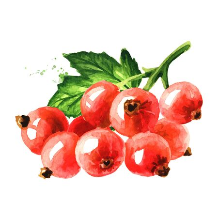 Red currant branch, Hand drawn watercolor illustration isolated on white background