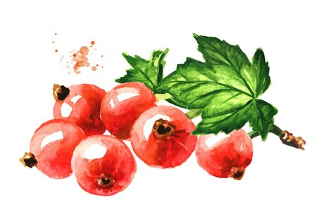 Red currant branch, Hand drawn watercolor illustration, isolated on white background