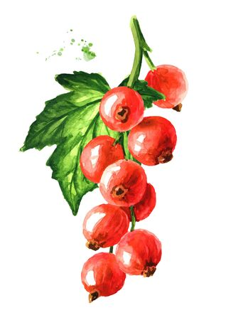 Red currant branch. Hand drawn watercolor illustration isolated on white background