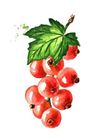 Red currant branch. Hand drawn watercolor illustration, isolated on white background