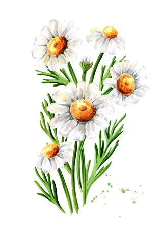 Bouquet of Chamomile flowers. Hand drawn watercolor illustration, isolated on white background