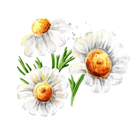 Chamomile flowers, Hand drawn watercolor illustration isolated on white background