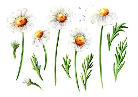Chamomile flowers set, Hand drawn watercolor illustration, isolated on white background