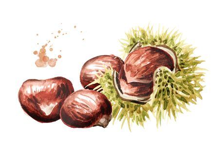 Fresh edible Chestnuts. Hand drawn watercolor illustration isolated on white background