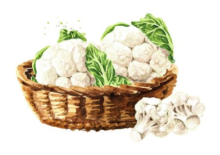 Organic cauliflower in the basket. Hand drawn watercolor illustration isolated on white background