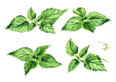 Fresh young green nettle herb set. Hand drawn watercolor illustration, isolated on white background