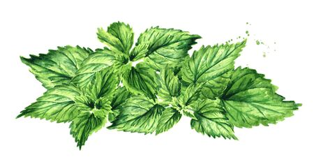 Fresh young green nettle herb. Hand drawn watercolor illustration  isolated on white background Banco de Imagens
