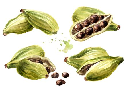 Cardamon pods and seeds set, Super food and indian aroma spice. Hand drawn watercolor illustration isolated on white background 免版税图像