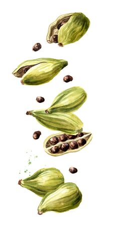 Falling Cardamon pods. Super food and indian aroma spice. Hand drawn watercolor illustration isolated on white background