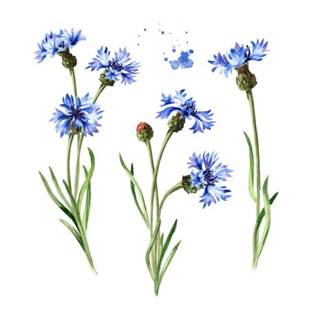 Blue flowers cornflower stems with leaves set. Hand drawn watercolor illustration isolated on white background Stock Photo