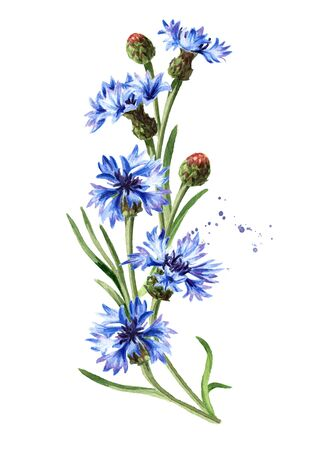 Blue flowers cornflower stems with leaves. Hand drawn watercolor illustration, isolated on white background Stock Photo