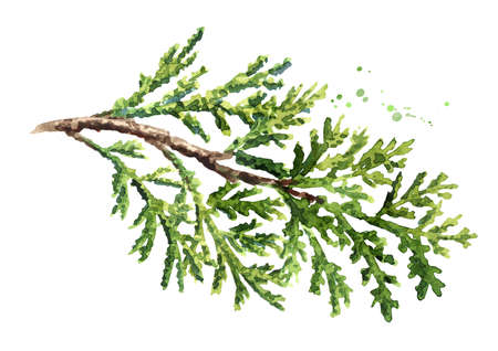 Cypress branch with needles and cone set. Hand drawn watercolor illustration, isolated on white background