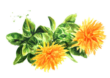 Safflower's flowers. Hand drawn watercolor illustration isolated on white background