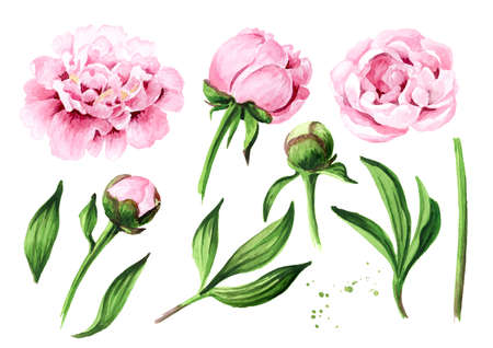 Pink peony Flowers set. Hand drawn watercolor illustration, isolated on white background