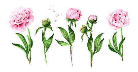 Pink peony Flowers, Hand drawn watercolor illustration isolated on white background