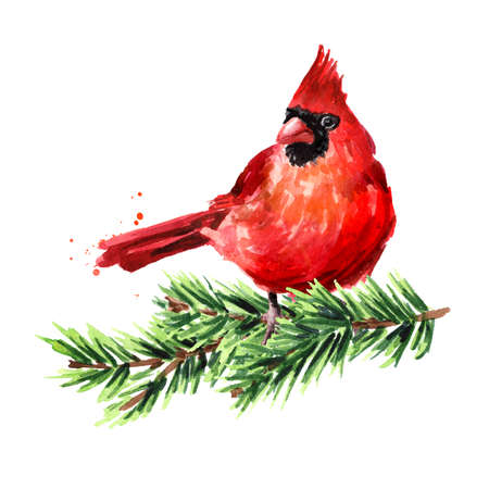 Red bird Cardinal on the fir branch, Symbol of Christmas, Watercolor hand drawn illustration isolated on white background 版權商用圖片